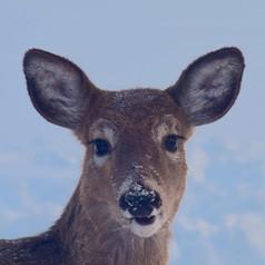 Deer Placenta 50mg