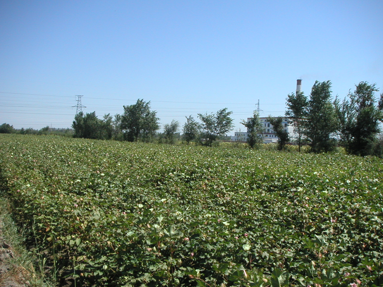 XinJiang, China Cotton Field