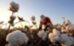 xinjiang long staple cotton