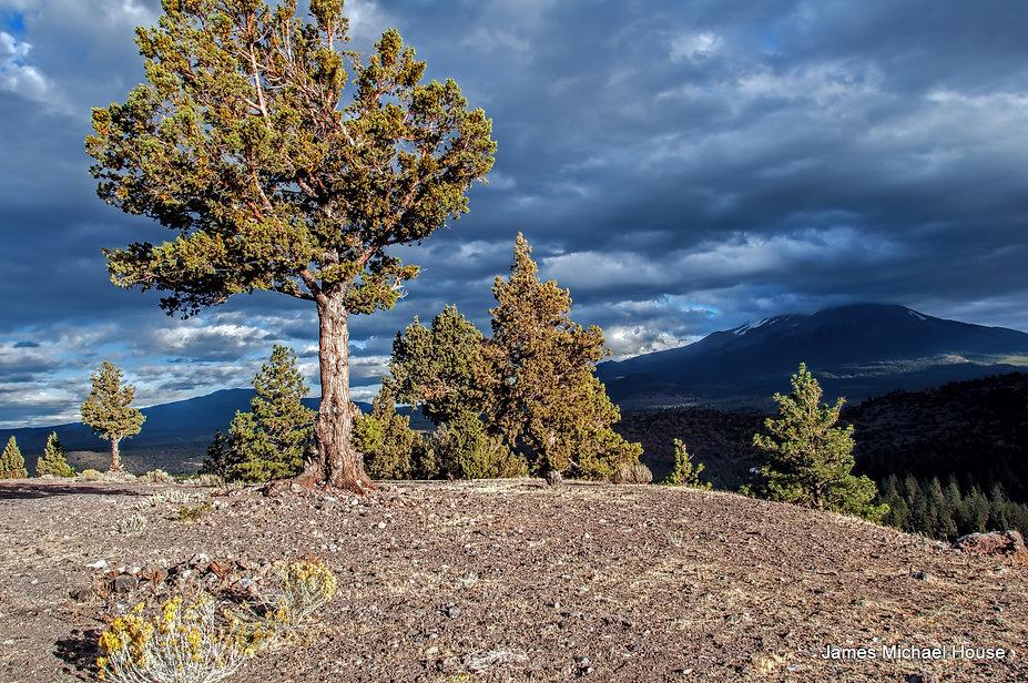 Mount-Shasta-Tree-JMH.jpg