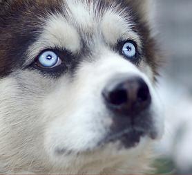 dog eyes2.png