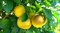 Grapefruit tree on property
