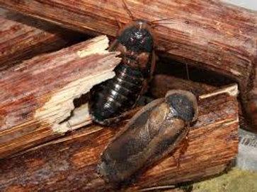 "Blaptica dubia ""Guyana spotted cockroach"""