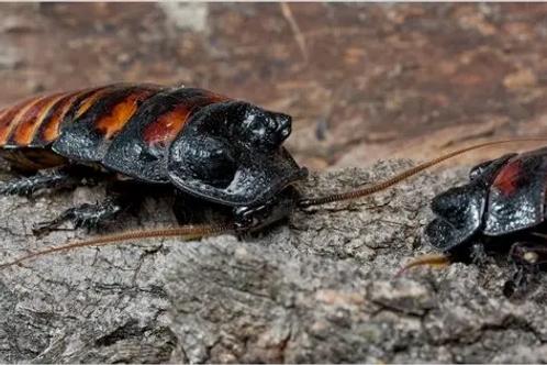 "Gromphadorhina portentosa ""Madagascar Hissing Cockroach"""