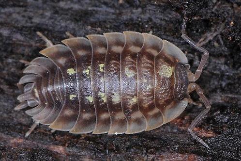 "Oniscus Asellus ""Wild Type"""