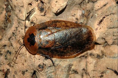 "Archimandrita tesselata ""Giant Peppered Roach"""