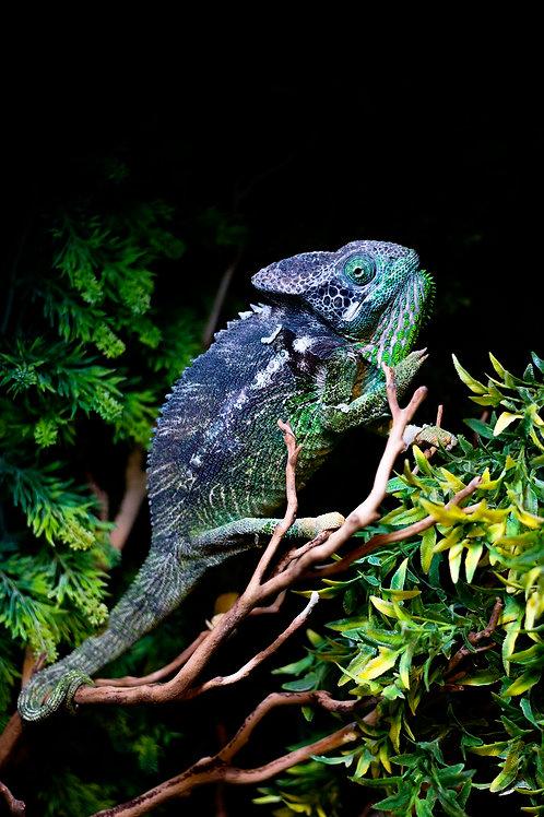 """Furcifer verrucosus """"Warty Chameleon"""""""