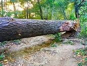 RTF-Large FAllen Tree in path.jpg