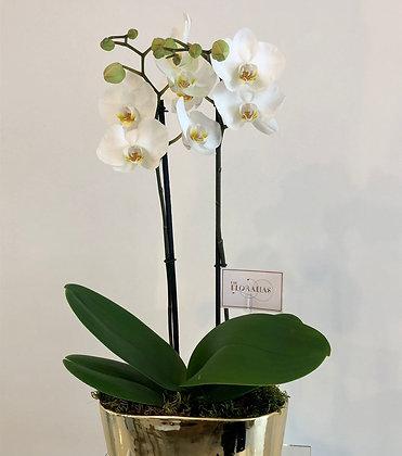Orquídea blanca Gold