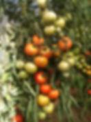 Grevby tomater.jpg