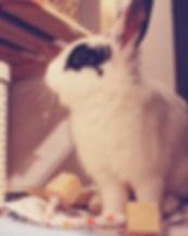 królik miniaturka wady i zalety