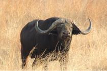 big_cape_buffalo.jpg