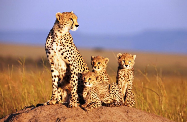 African-Cats-Disneynature-5-August-823x5