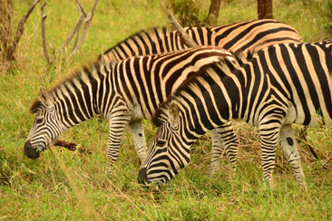 Zebra-in-Thanda-Game-Reserve-South-Afric
