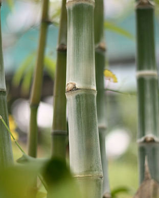 bamboos-in-the-garden-1160460.jpg