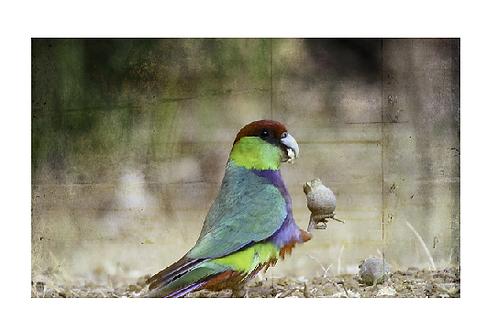 Red Capped Parrot - Artist: Dick Jenkin