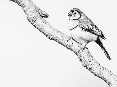 Double-barred Finch - Artist: Dick Jenkin