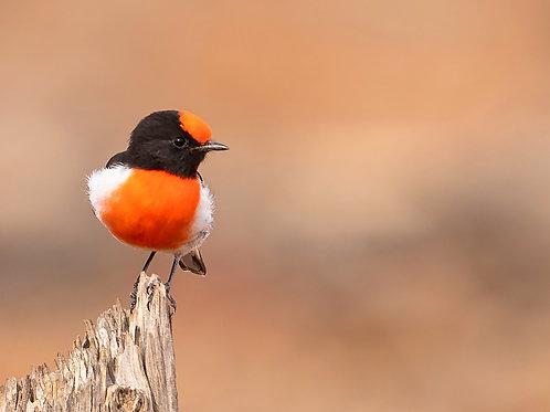 Red-capped Robin - Artist: Dick Jenkin
