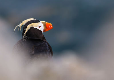 Tufted Puffin-300.jpg