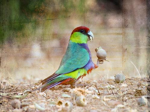 Red-capped Parrot - Artist: Dick Jenkin