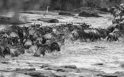 Wildebeest Crossing-.jpg