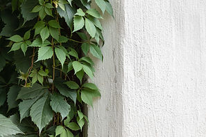 Green%20Ivy%20on%20Stone%20Wall_edited.j
