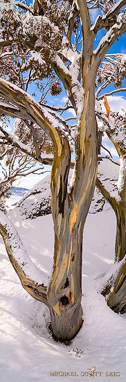 Snowgums in snow near Charlotte Pass, Kosciuszko National Park, Australia. Fine Art Photography Prints for Sale by Michael Sc