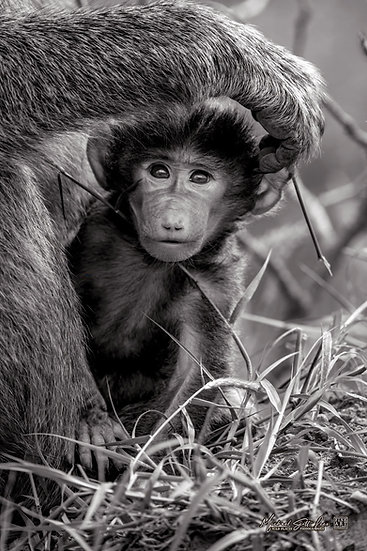 Baby baboon in Lake Nakuru National Park, Michael Scott Lees fine art photographic prints for sale