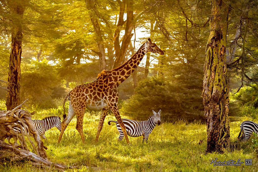 Giraffe and zebras in a acacia forest in Kimana Sanctuary, Kenya, Michael Scott Lees fine art photographic prints for sale