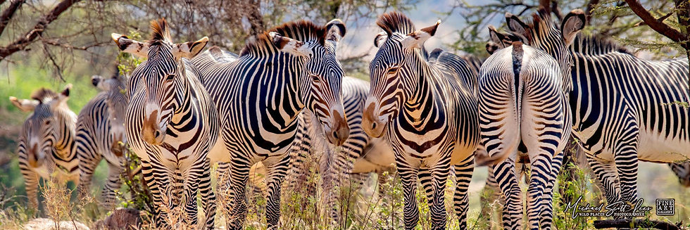 Grevy Zebras under trees at Samburu National Park, Kenya, Michael Scott Lees fine art photographic prints for sale