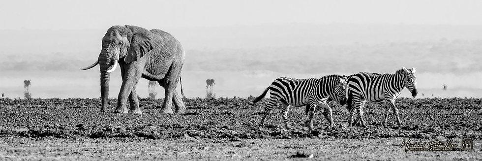 Elephant and Zebras in Amboseli National Park, Michael Scott Lees fine art photographic prints for sale