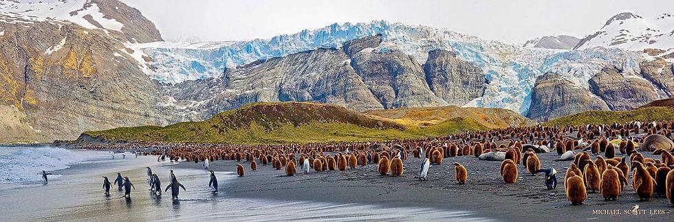 King Penguins on South Georgia Island near Antarctica. Fine Art Photography Prints for Sale by Michael Scott Lees photograph