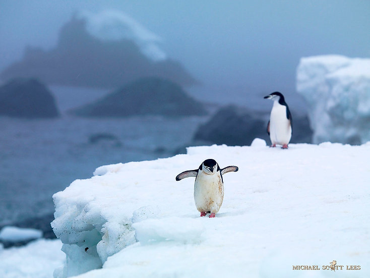 Two Chinstrap Penguins on one of the small South Shetland Islands, Antarctica. Fine Art Photography Prints for Sale by Michae