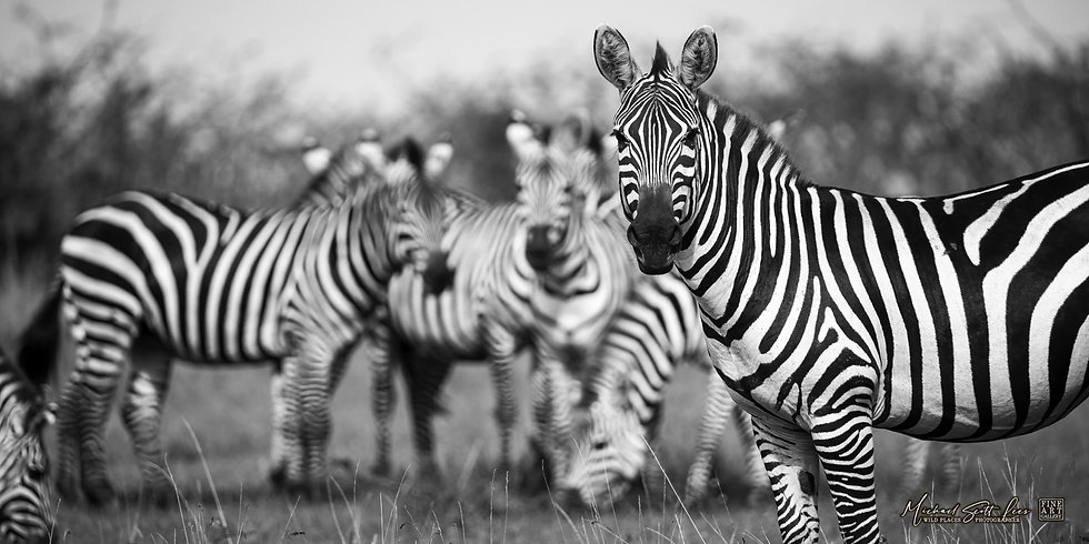 Zebras in Masai Mara National Reserve, Michael Scott Lees fine art photographic prints for sale