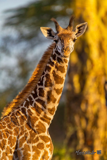 Baby Giraffe with Acacia trees in the background in Kimana Sanctuary, Kenya, Michael Scott Lees fine art photographic prints