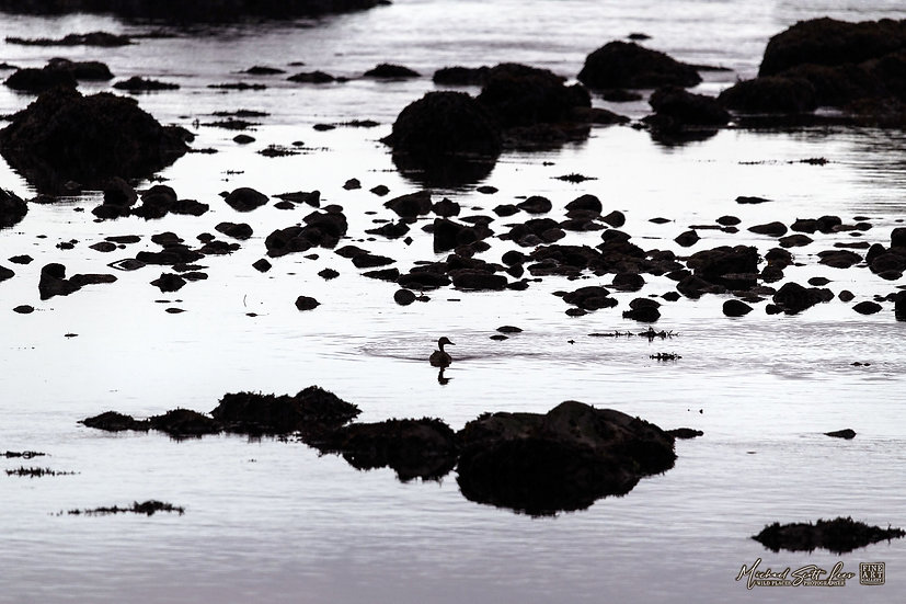 Duck swimming near Rialto Beach in Olympic Coast National Park, Washington State, America. Michael Scott Lees fine art photo