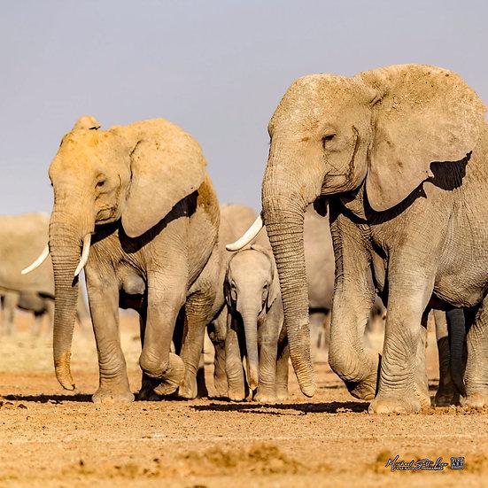 Herd of elephants on a dead lake in Amboseli National Park, Michael Scott Lees fine art photographic prints for sale