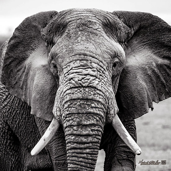 Portrait of an Elephant on a dead lake in Amboseli National Park, Michael Scott Lees fine art photographic prints for sale
