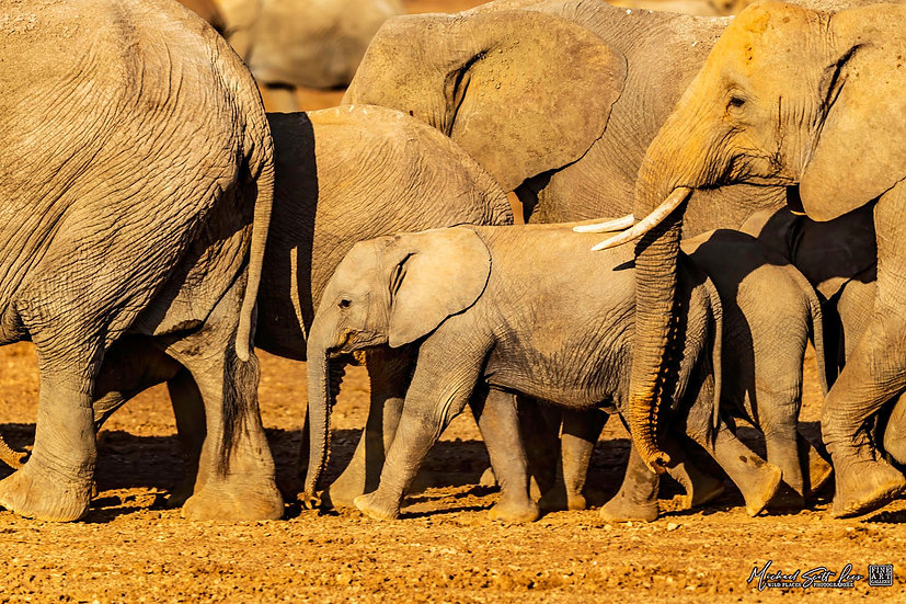 Herd of elephants and baby in Amboseli National Park, Michael Scott Lees fine art photographic prints for sale