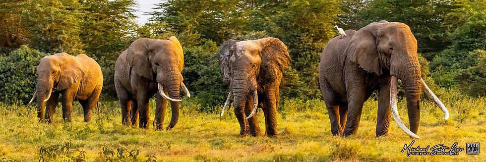 Four bull elephants with large tusks in Kimana Sanctuary, Kenya, Michael Scott Lees fine art photographic prints for sale