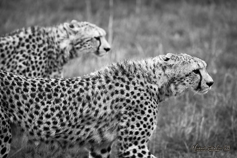 Cheetahs in Masai Mara National Reserve, Michael Scott Lees fine art photographic prints for sale