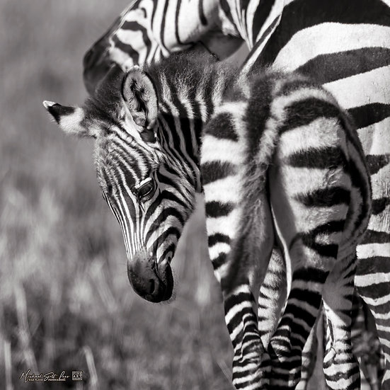 Mother and baby zebra in Maasai Mara National Reserve, Michael Scott Lees fine art photographic prints for sale