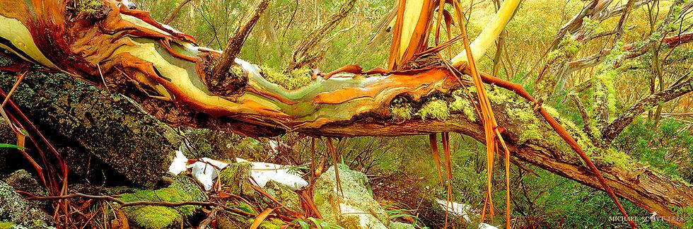 Green Snowgum in the Kosciuszko National Park, Australia. Fine Art Photography Prints for Sale by Michael Scott Lees photo