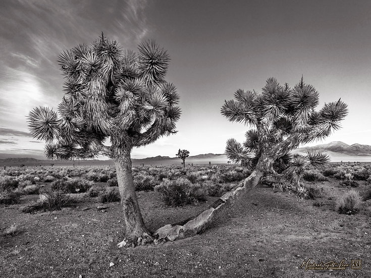 Joshua Trees on the Extraterrestrial Highway in Nevada. Michael Scott Lees fine art photographic prints for sale