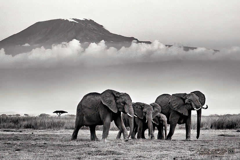 Elephants and Mt Kilimanjaro in Amboseli National Park, Michael Scott Lees fine art photographic prints for sale