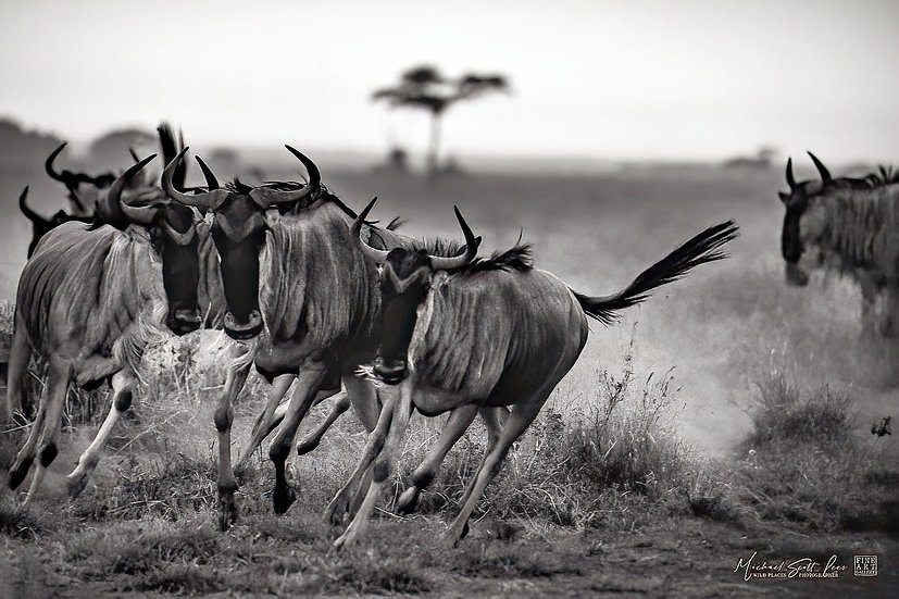 Wildebeests running at Amboseli National Park, Kenya, Michael Scott Lees fine art photographic prints for sale