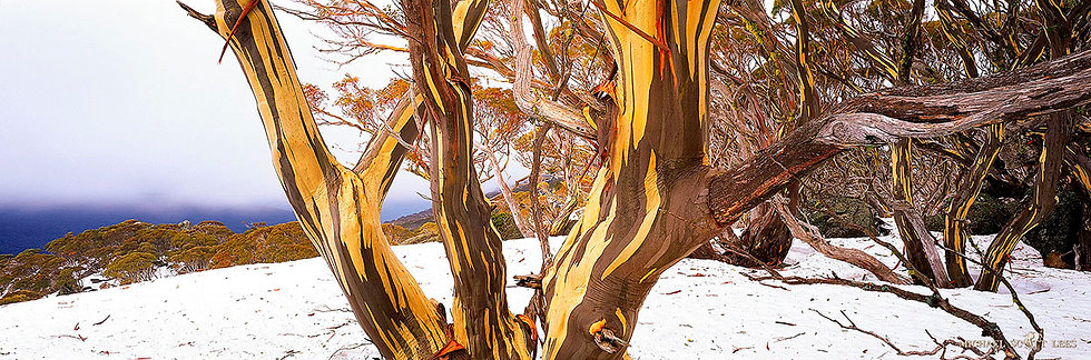 Snowgum in the Snow in Kosciuszko National Park, Australia. Fine Art Photography Prints for Sale by Michael Scott Lees photog