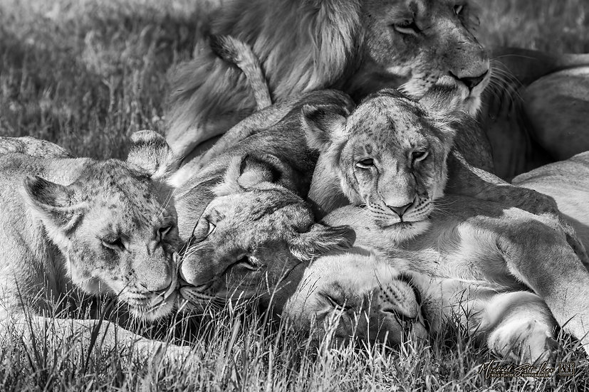 Lion and cubs in Masai Mara National Reserve, Michael Scott Lees fine art photographic prints for sale