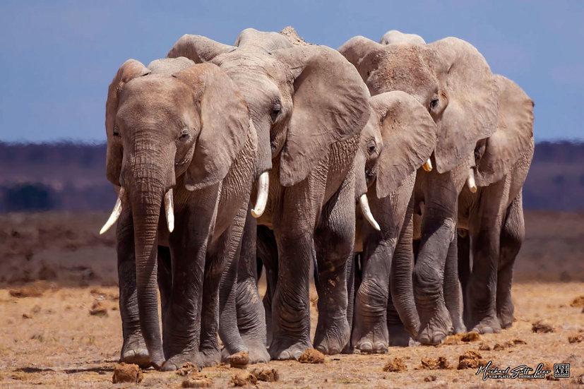 Elephants crossing the plains in Amboseli National Park, Michael Scott Lees fine art photographic prints for sale