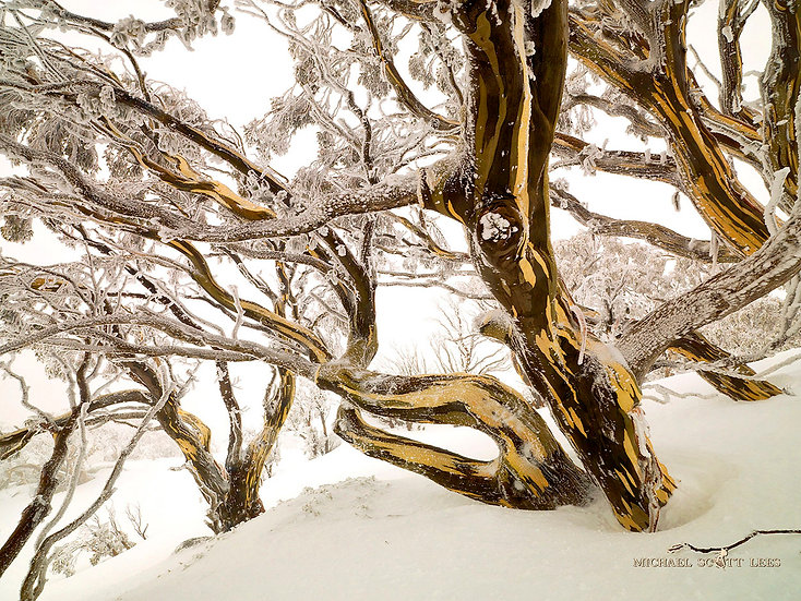 Snowgums in the Snow in Kosciuszko National Park, Australia. Fine Art Photography Prints for Sale by Michael Scott Lees photo